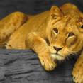 miss.lioness